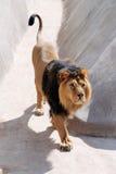 Il leone indiano Fotografia Stock