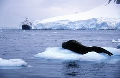 Il leone marino del sud che dormono sulla banchisa con i ghiacciai e gli iceberg nel paradiso Harbor, l'Antartide Fotografia Stock