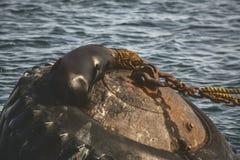 Il leone marino dentro si rilassa Immagini Stock
