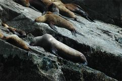 Il leone marino di Steller Immagine Stock