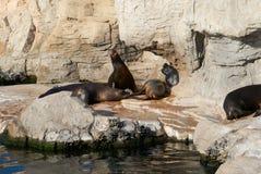 Il leone marino nei ruggiti diabolici dello zoo Immagini Stock