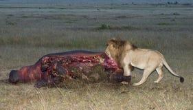 Il leone maschio si alimenta sui guastare del hippopotamus Fotografie Stock