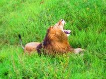 Il leone nel parco nazionale di Serengeti immagine stock