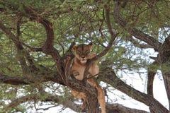 Il leone si rilassa sull'albero Immagine Stock
