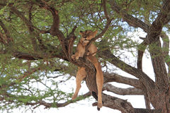 Il leone si rilassa sull'albero Immagini Stock Libere da Diritti