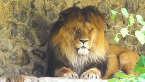 Il leone terribile sta facendo un pisolino in natura archivi video