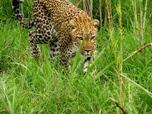 Il leopardo è il gatto più bello nel cespuglio fotografia stock