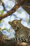 Il leopardo africano vigile sopra prega in albero Fotografia Stock Libera da Diritti