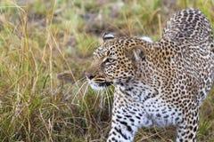 Il leopardo cela la preda Masai Mara, Kenia fotografia stock libera da diritti