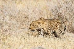 Il leopardo cerca un'antilope saltante fotografie stock