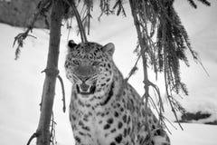 Il leopardo del Amur Immagini Stock Libere da Diritti