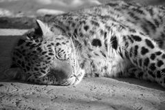 Il leopardo del Amur Fotografia Stock Libera da Diritti