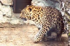 Il leopardo dell'Amur cammina da parte a parte immagini stock libere da diritti