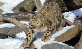 Il leopardo delle nevi Fotografia Stock