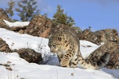 Il leopardo delle nevi sopra vaga in cerca di preda Immagini Stock