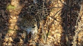 Il leopardo di stupore dell'Amur sta trovandosi sulle foglie secche in Primorsky Safari Park, Russia video d archivio