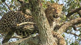 Il leopardo evasivo Fotografia Stock