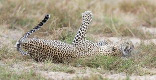Il leopardo femminile schiaffeggia il maschio mentre si accoppia sull'erba in natura Fotografia Stock