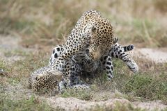 Il leopardo femminile schiaffeggia il maschio mentre si accoppia sull'erba in natura immagini stock libere da diritti