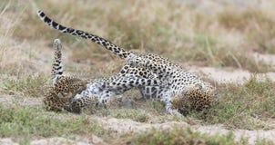 Il leopardo femminile schiaffeggia il maschio mentre si accoppia sull'erba in natura Immagine Stock