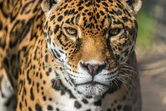 Il leopardo, primo piano, ha bella pelliccia macchiata fotografia stock libera da diritti