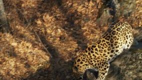 Il leopardo raro dell'Amur sta cercando qualcosa in Primorsky Safari Park, Russia video d archivio