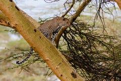 Il leopardo si siede su un albero Punto di osservazione kenya Fotografie Stock Libere da Diritti