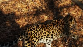 Il leopardo stupefacente ma raro dell'Amur sta camminando in Primorsky Safari Park, Russia stock footage