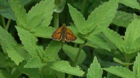 Il lepidottero è sulle foglie verdi video d archivio