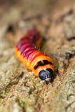 Il lepidottero Caterpillar della capra fotografie stock libere da diritti