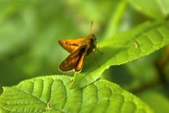 Il lepidottero che si siede su un foglio di un albero Fotografia Stock Libera da Diritti
