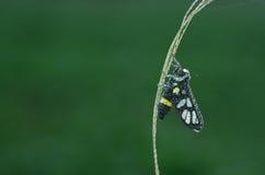 Il lepidottero della vespa è coperto di goccioline della rugiada fotografia stock