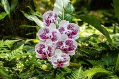 Il lepidottero di phalaenopsis ha modellato le orchidee Petali bianchi e porpora; felci e foglie verdi nel fondo Hilo, Hawai fotografie stock