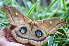 Il lepidottero di visita immagini stock