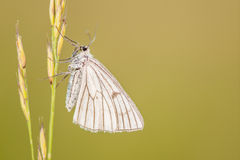 Il lepidottero Nero-venato; Lineata di Siona Immagini Stock