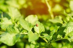 Il leptinotarsa decemlineata delle dorifore della patata su un primo piano delle patate parassiti di insetto, nemico del ` s dell Fotografia Stock Libera da Diritti