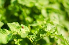 Il leptinotarsa decemlineata delle dorifore della patata su un primo piano delle patate parassiti di insetto, nemico del ` s dell Immagini Stock