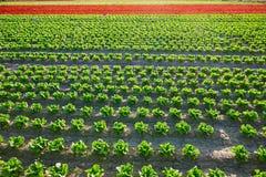 Il letucce verde di romain e la foglia della quercia rossa sistemano Fotografia Stock Libera da Diritti