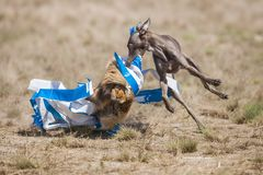 Il levriero italiano del cane al rivestimento ha preso un'esca Scorrere addestramento Fotografie Stock