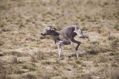 Il levriero italiano del cane persegue l'esca nel campo Immagine Stock