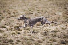Il levriero italiano del cane persegue l'esca nel campo Fotografia Stock