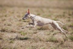 Il levriero italiano del cane persegue l'esca nel campo Scorrere addestramento Immagine Stock