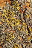 Il lichene arancio e grigio di giallo, su una corteccia marrone di un albero Colori gialli, arancio, grigi 3 di marrone Immagini Stock