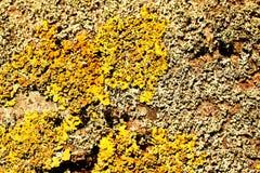 Il lichene giallo e grigio su un albero come struttura Fotografie Stock Libere da Diritti
