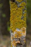 Il lichene giallo sulla corteccia di albero distrugge la foresta Fotografie Stock