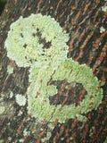 Il lichene sulla corteccia fa un buon fondo strutturale Immagini Stock