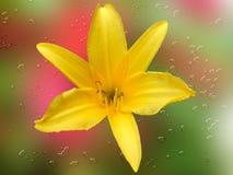 Il lilium giallo con il fondo della sfuocatura e l'acqua spruzzano Fotografie Stock
