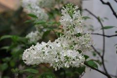 Il lillà bianco fiorisce il primo piano nel giardino di inverno Fotografie Stock Libere da Diritti