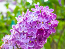 Il lillà fiorisce il primo piano Fotografia Stock Libera da Diritti