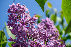 Il lillà fiorisce il primo piano contro il cielo fotografia stock